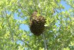Roje pszczol zbiore. Gotówka za wskazanie od reki .