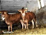 Ja�ówki hodowlane Limousine