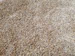 Jęczmień jary Bente, pierwszy rok po centrali nasiennej