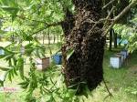 Rój pszczó� zebranie roju zabezpieczenie pszczó�